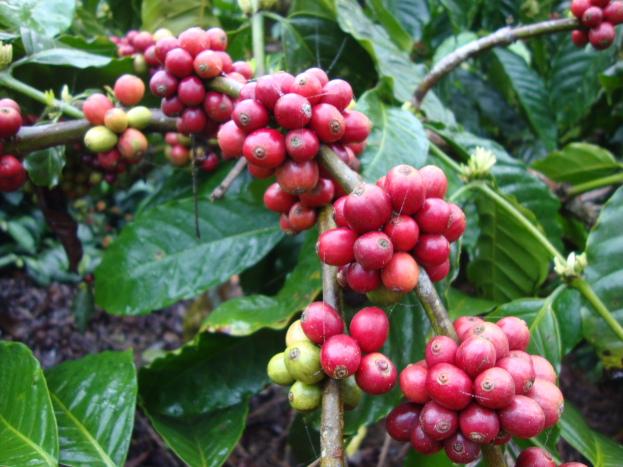 Coffee berries DSC05899_Anurag Priya