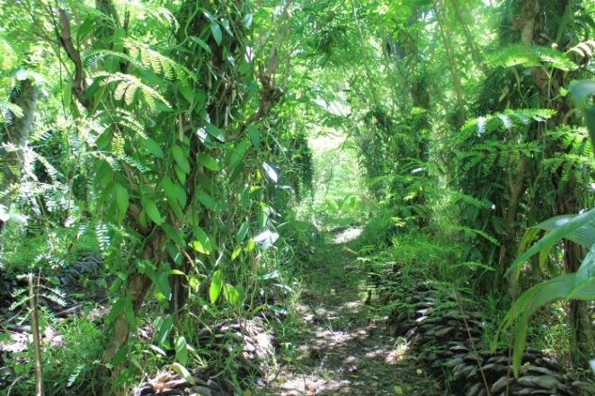 IMG_1539 Vanilla plantation_Priya Ganapathy