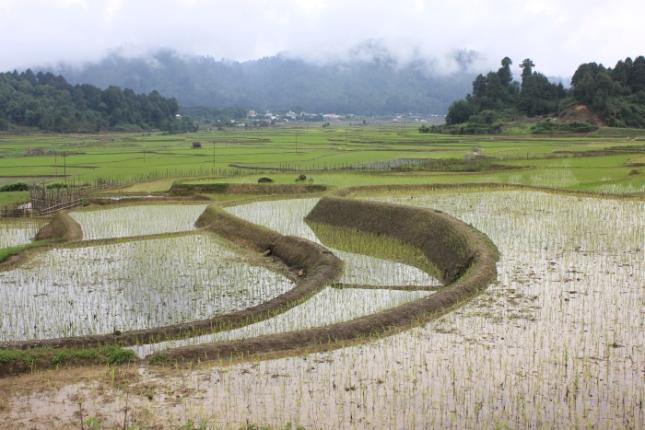 IMG_7782 Ziro Apatani paddy  cultivation