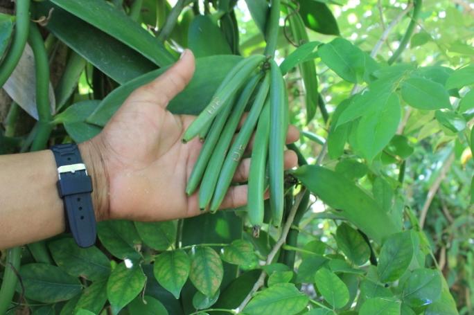 IMG_1543 Vanilla plantation_Priya Ganapathy