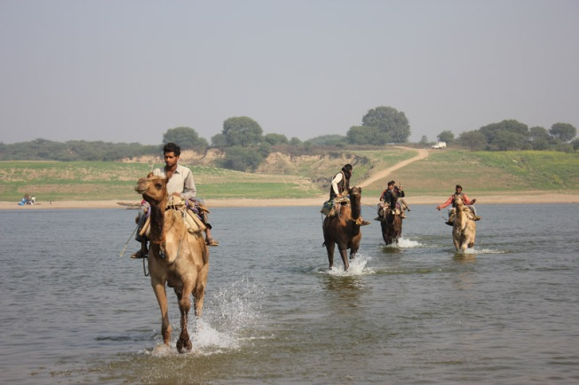 Chambal camel crossing IMG_3216