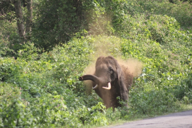 Wildlife-Tusker by the road IMG_7652_Wayanad-Anurag Mallick