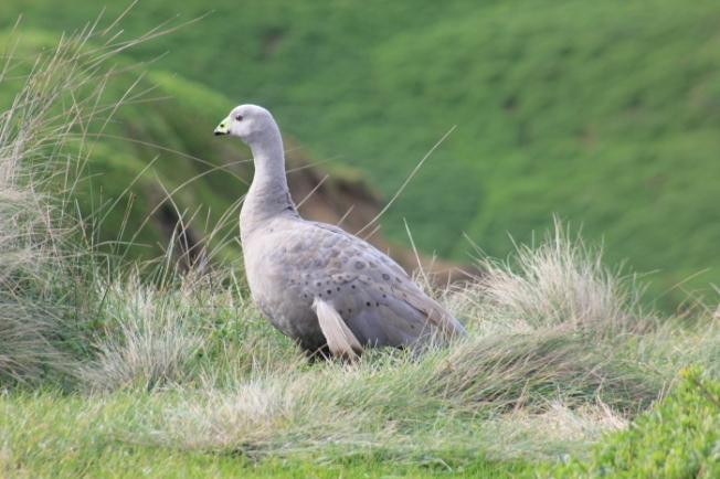 Cape Barren Goose IMG_5730_Phillip Island-Anurag Mallick