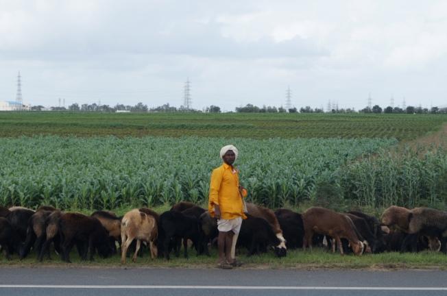 Jowar fields DSC02605_Anurag Mallick