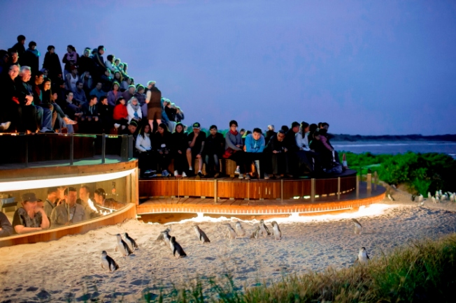 Penguins Plus_Phillip Island-Anurag Mallick