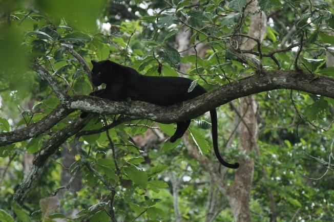 Kabini's famous black panther IMG_3786