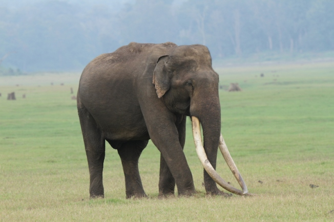Mr Kabini the elephant with the longest tusks IMG_9100