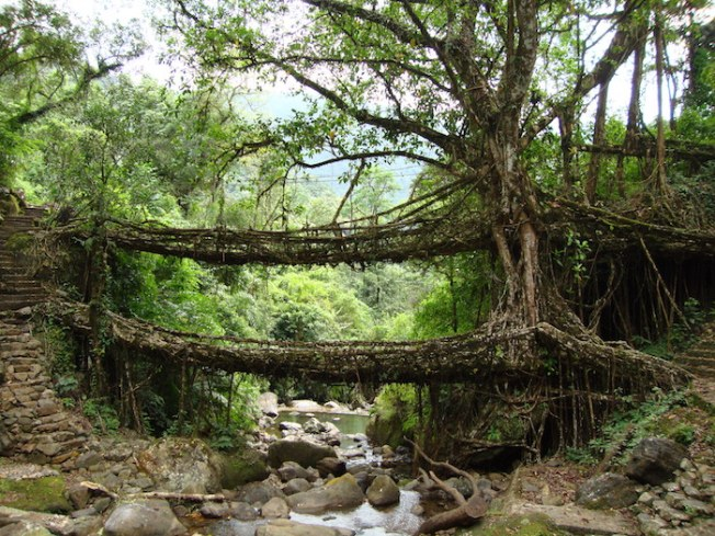 Living Root Bridges of Meghalaya DSC01594