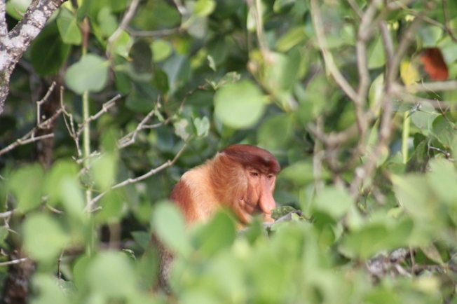 Bako National Park-Proboscis monkey IMG_6215