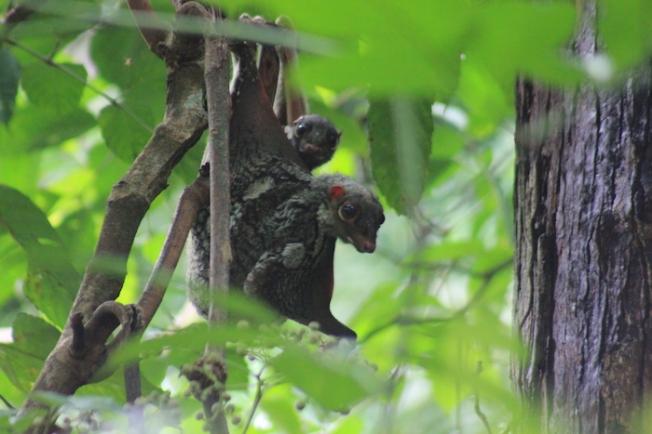 Bako National Park-Sunda colugo IMG_5850
