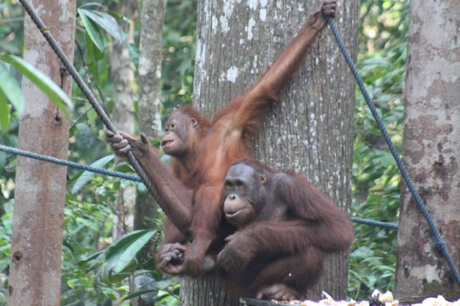 Semenggoh Wildlife Centre-Rescued orang utans IMG_6362