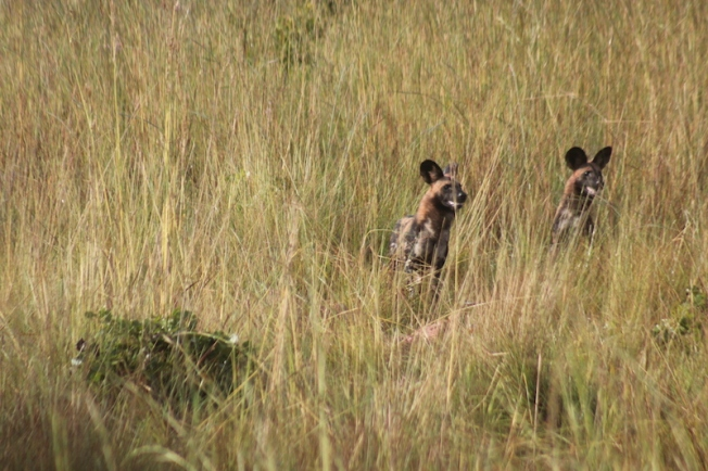 kafue-wild dogs at a kill 11.22.42