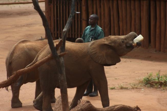 lilayi elephant nursery-feeding time 15.38.57