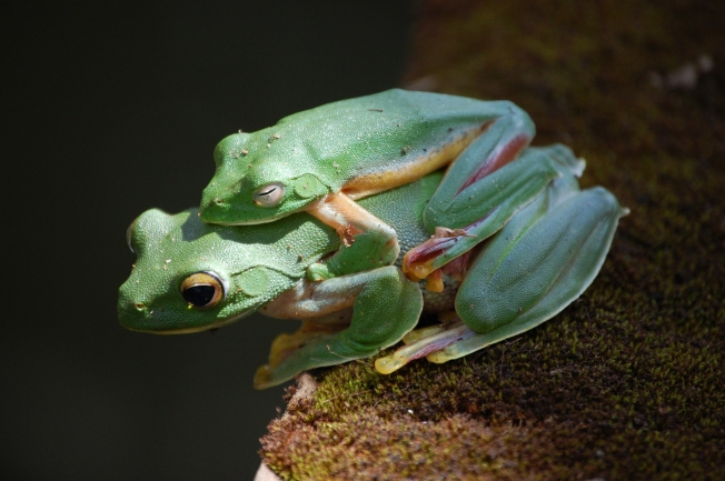 mating gliding frogs