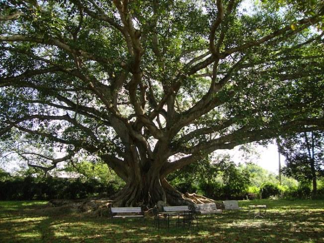Mistry Sahib's Bungalow old Banyan tree DSC03277