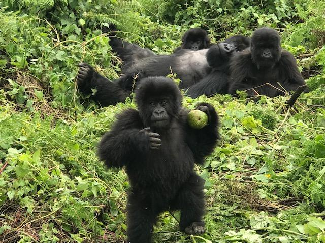 Rwanda Gorilla baby_Anurag Mallick IMG_3792
