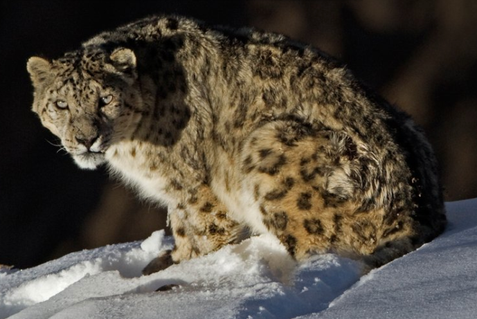 Snow Leopard WWI