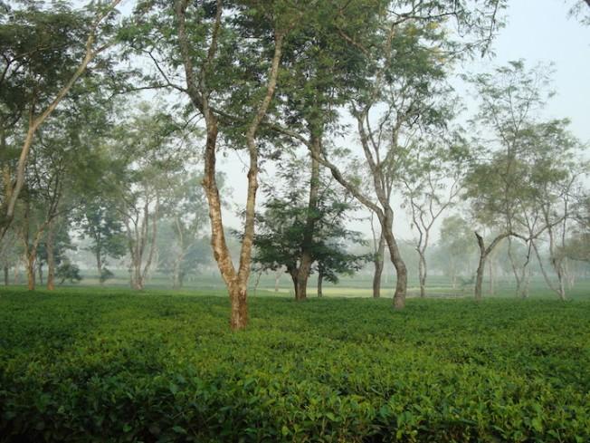Tea gardens DSC03345