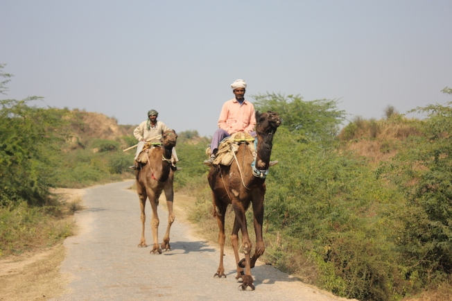 Chambal camels transporting firewood IMG_3623
